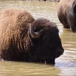 420340375-american-buffalo-bull-bathing-bovid
