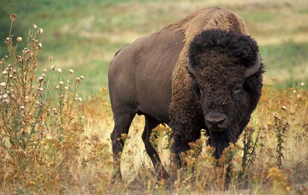 wild_buffalo_2014